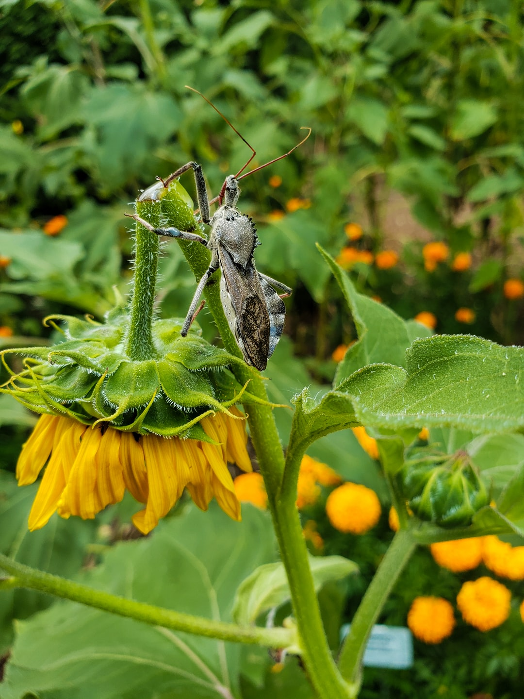 Wheel Bug (Assassin Bug) on damaged sunflower