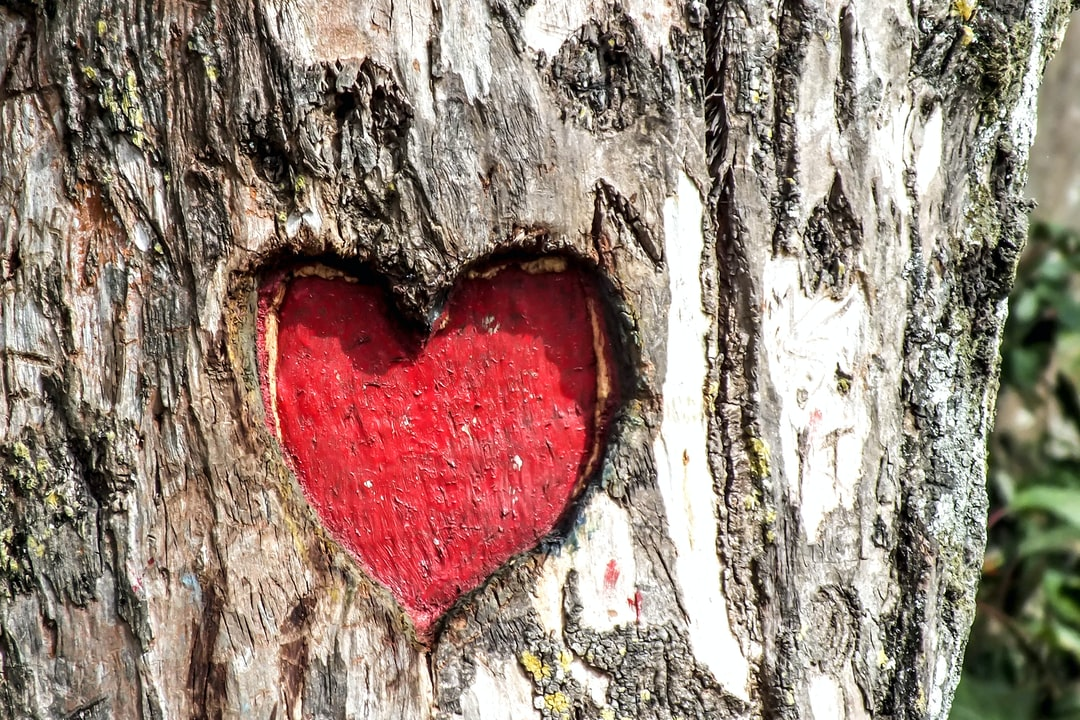 A heart (love) shaped carving on the trunk of a tree