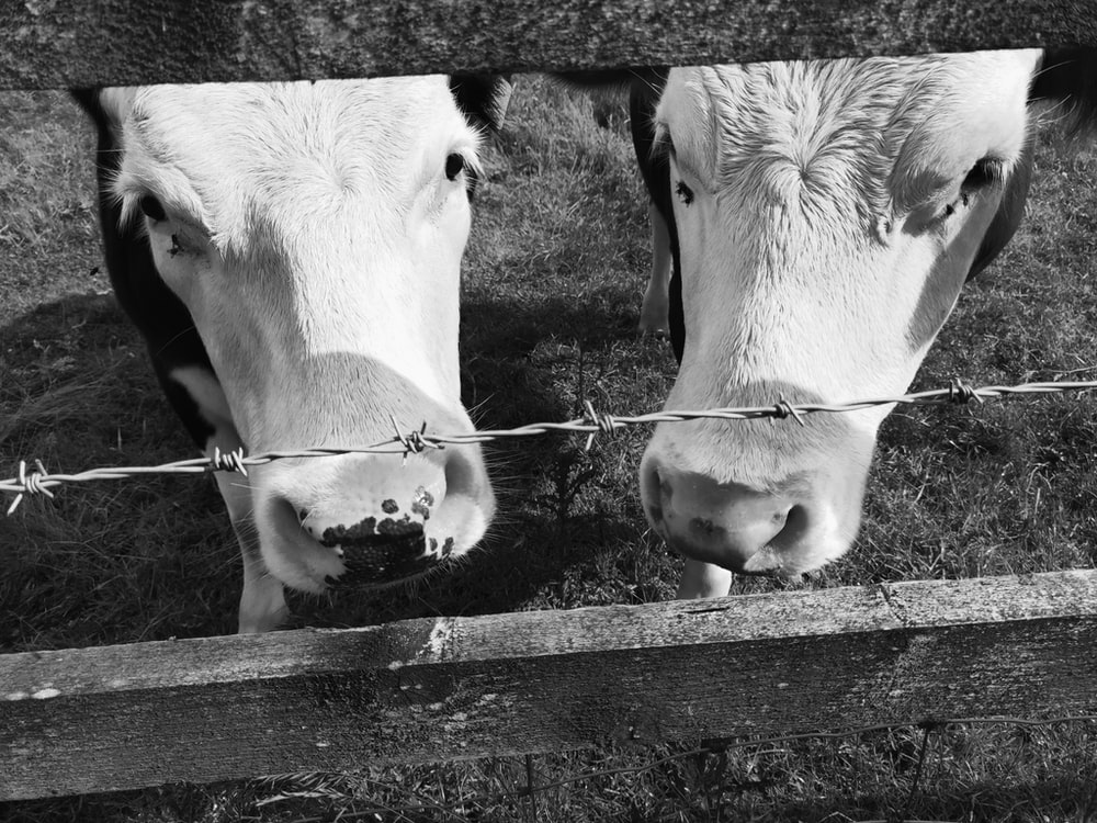 two grayscale photo of cattle