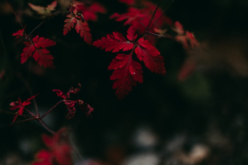 red-leafed plant