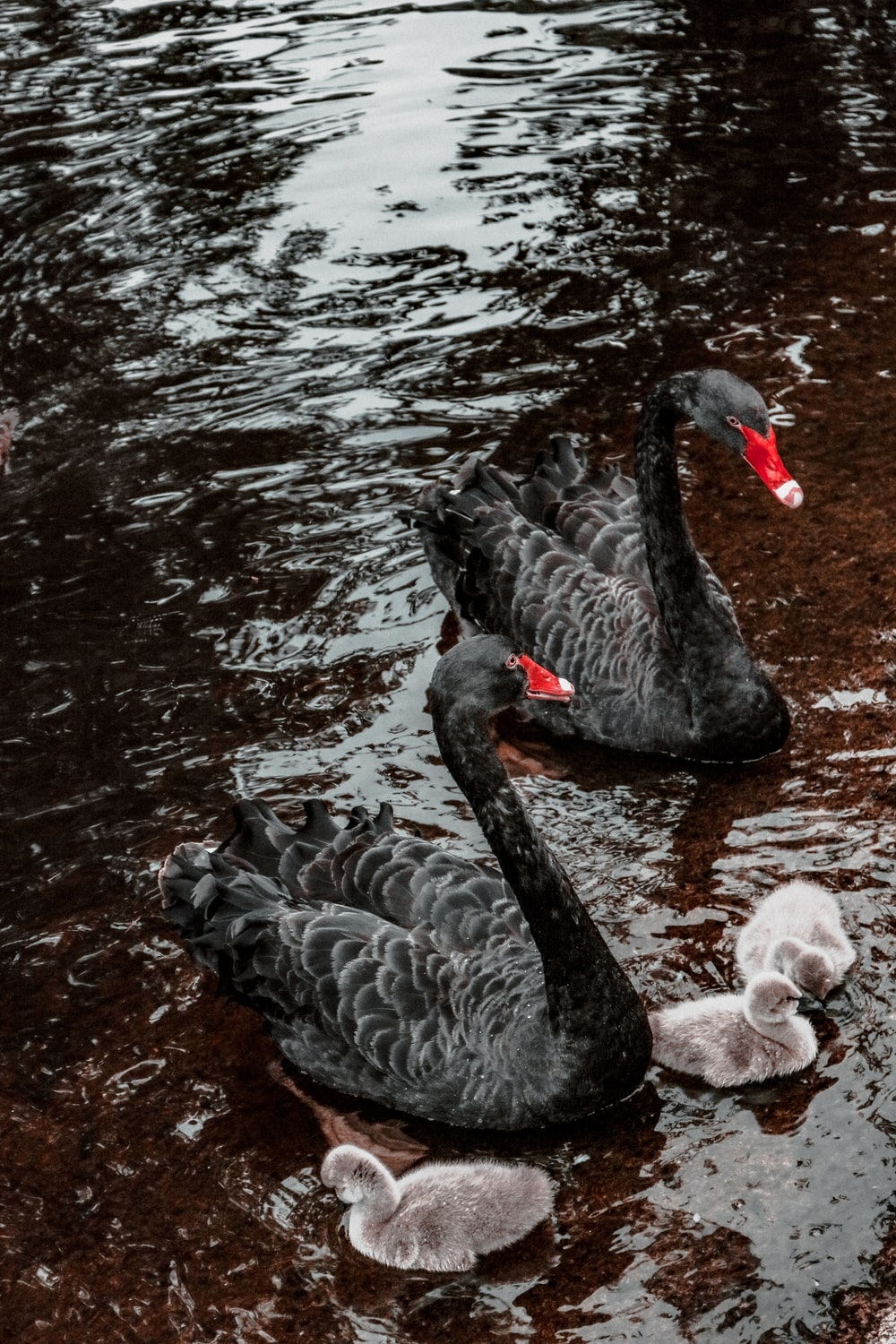two black ducks on body of water