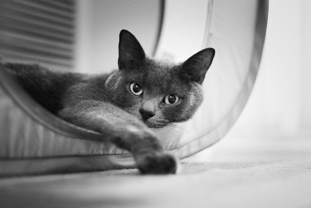 cat lying grey scale photography