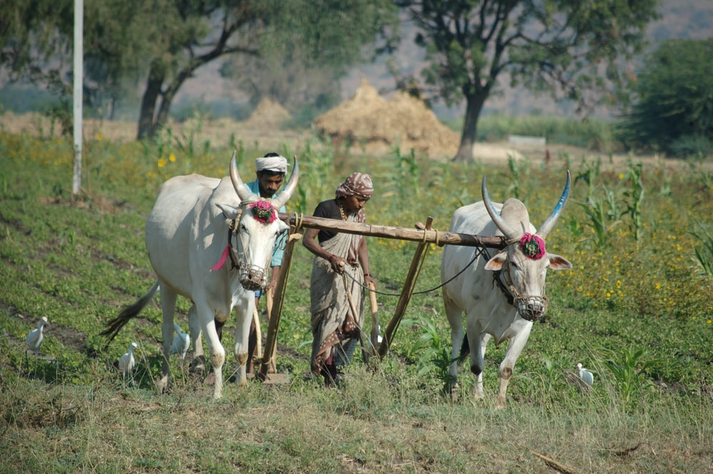 man and woman plowing field using two cattle