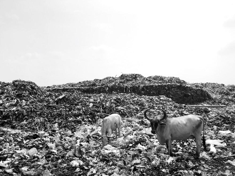 two cattle on field