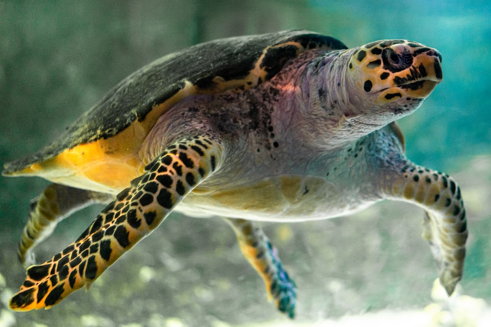 black and yellow sea turtle
