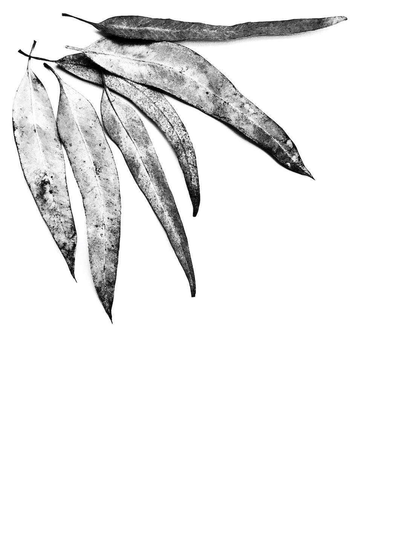 Grungy eucalyptus leaves.