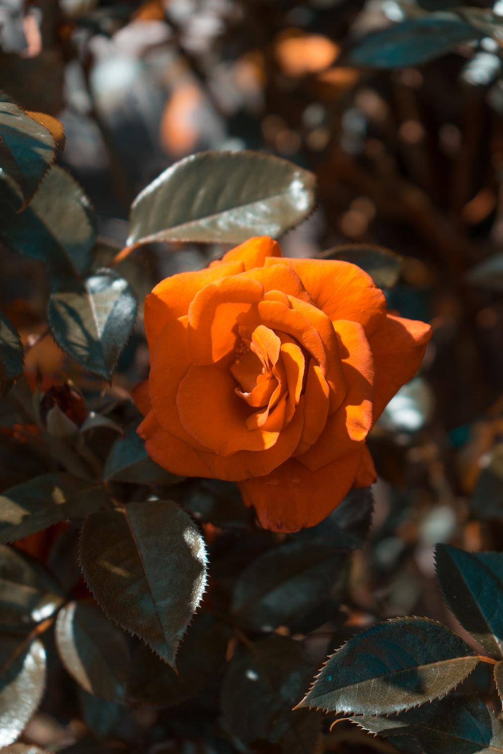 orange rose flower bloom close-up photography
