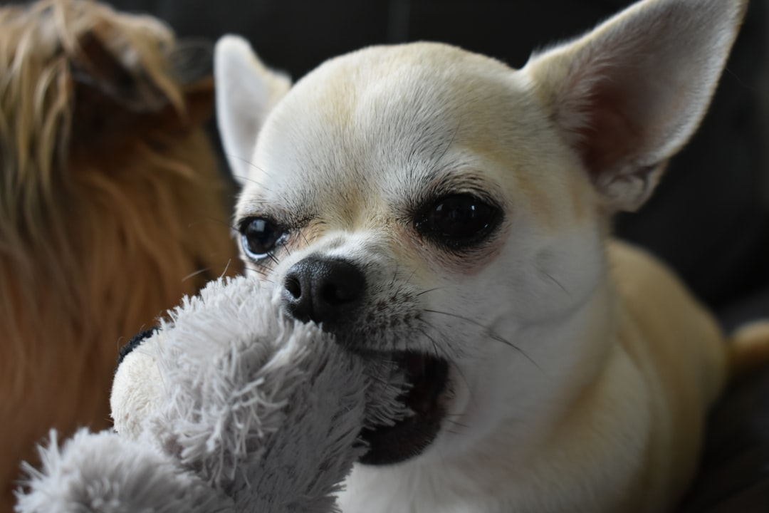 Chihuahua dog chewing a teddy shaped dog toy.