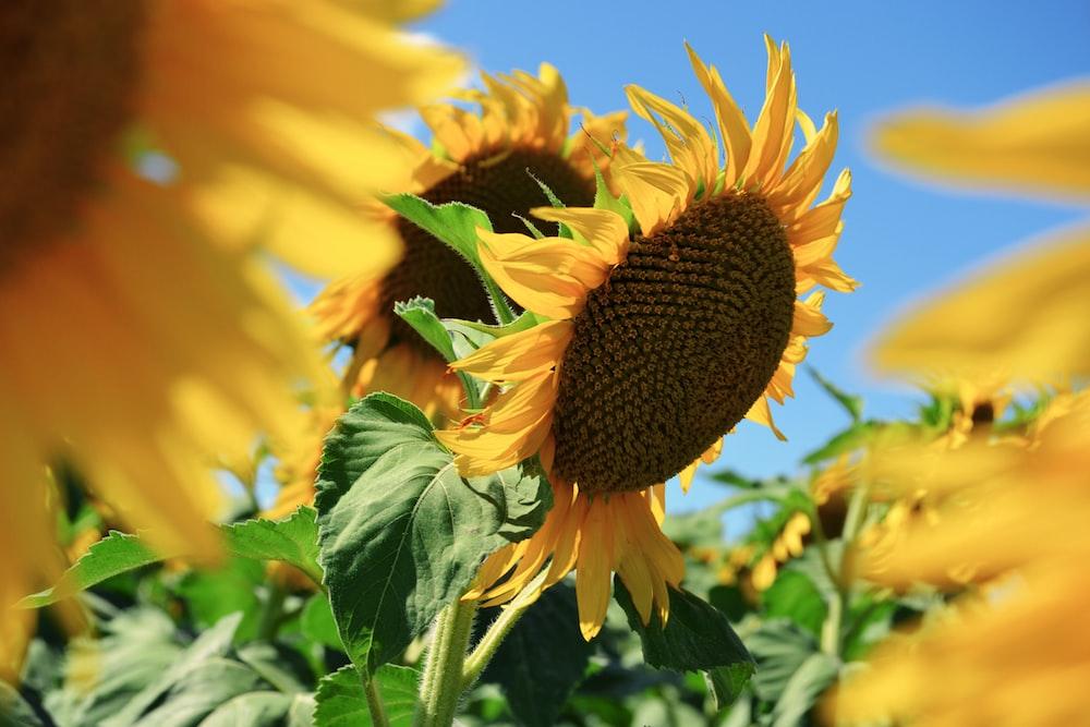 sunflowers macro photography