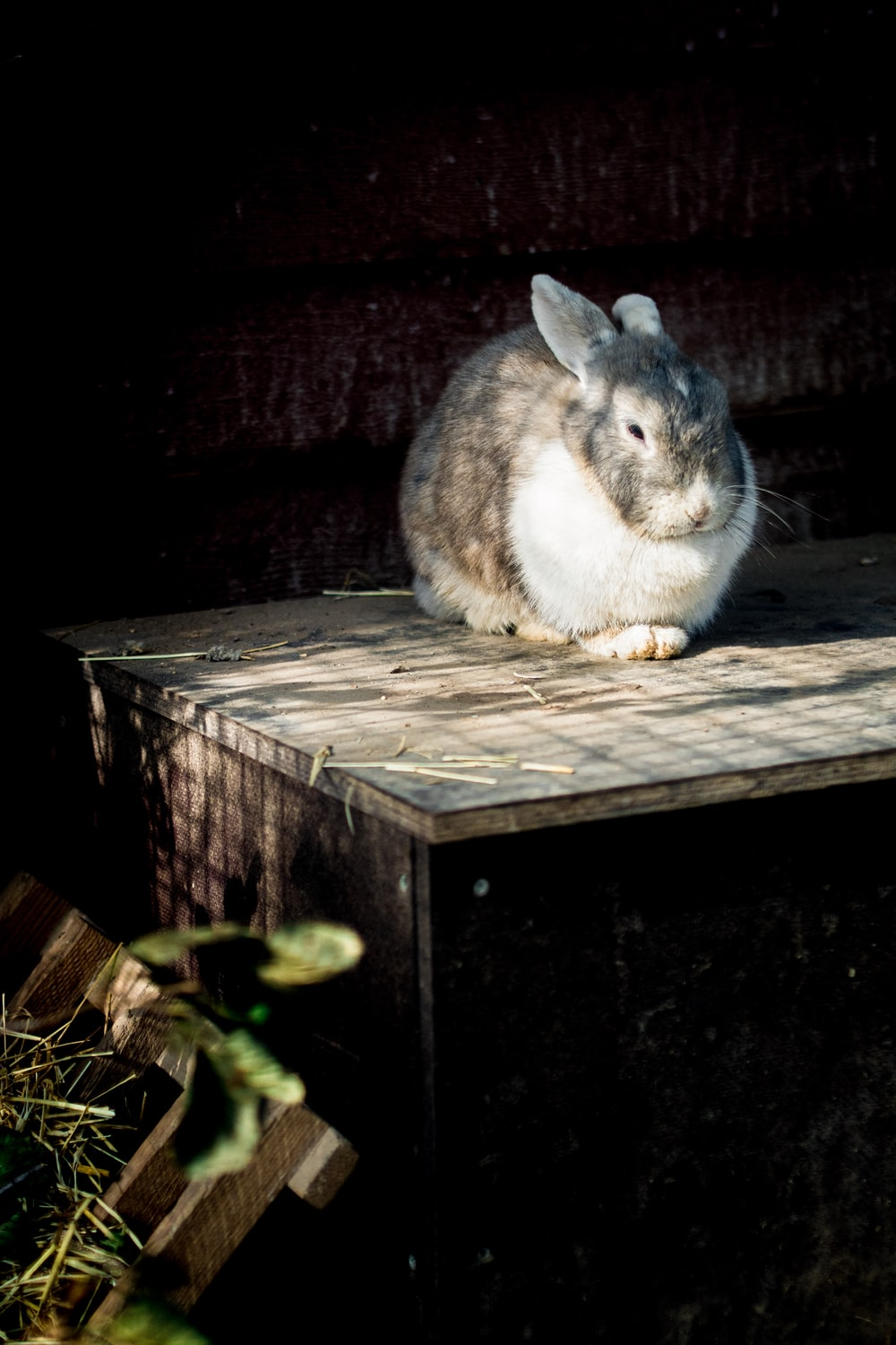 white and grey rabbit