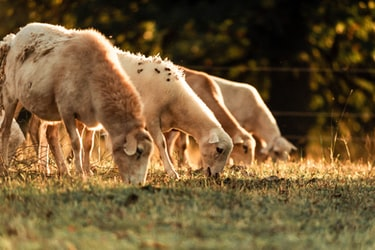 The Science of Holistic Planned Grazing