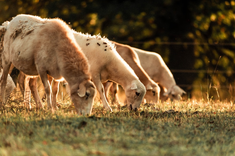 four sheep eating grasses
