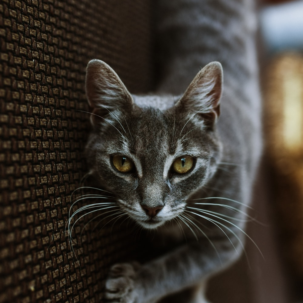 grey tabby cat lying on grey textile