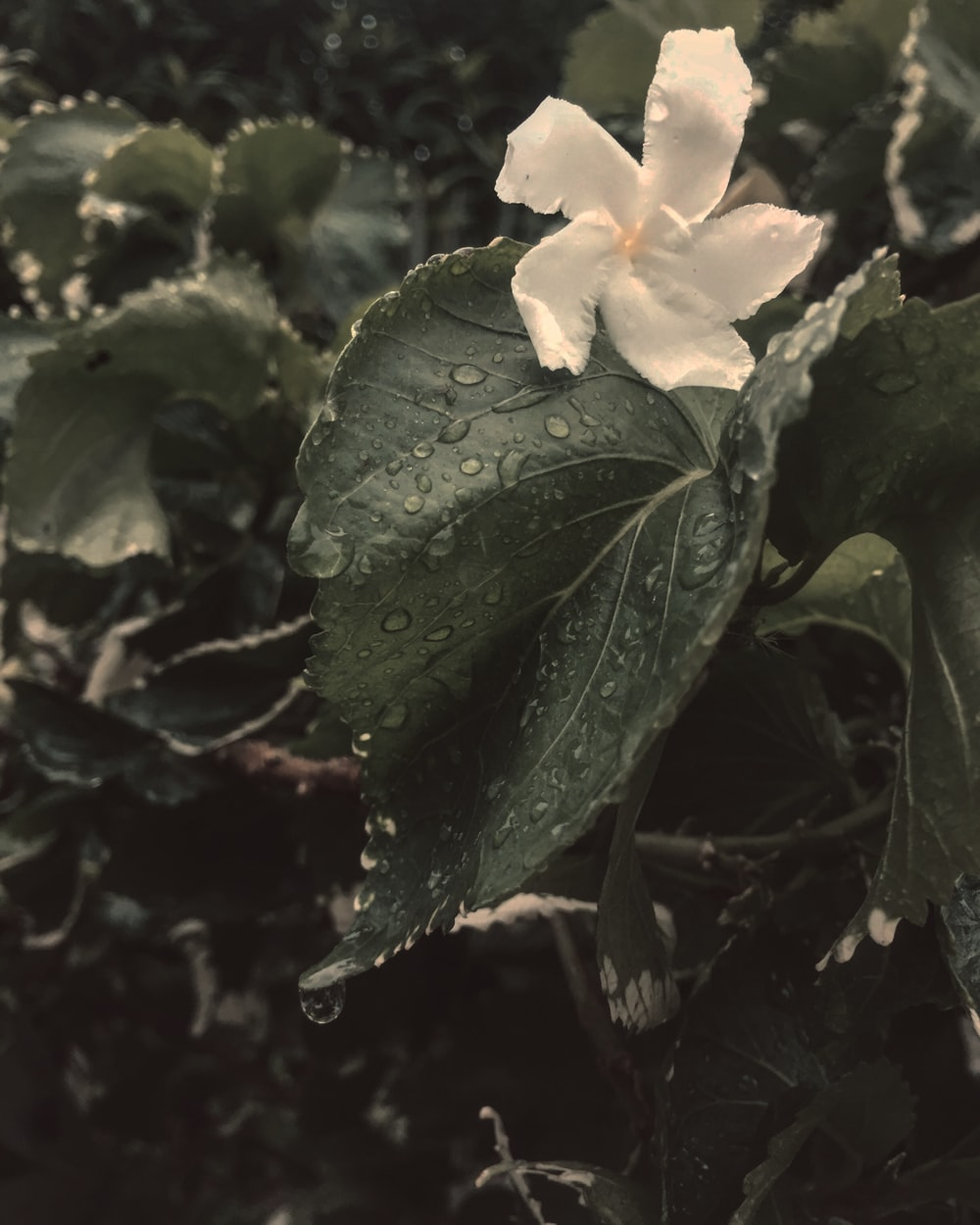 white petaled flower blooming
