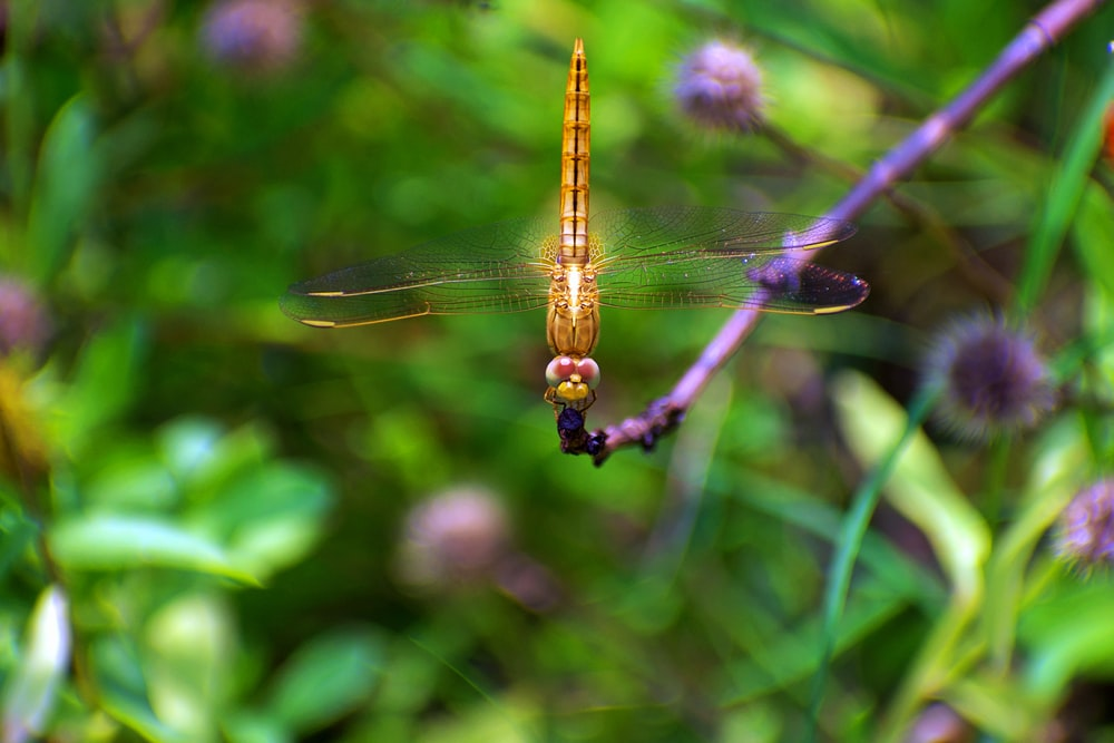 close-up photography of orange dragonfly