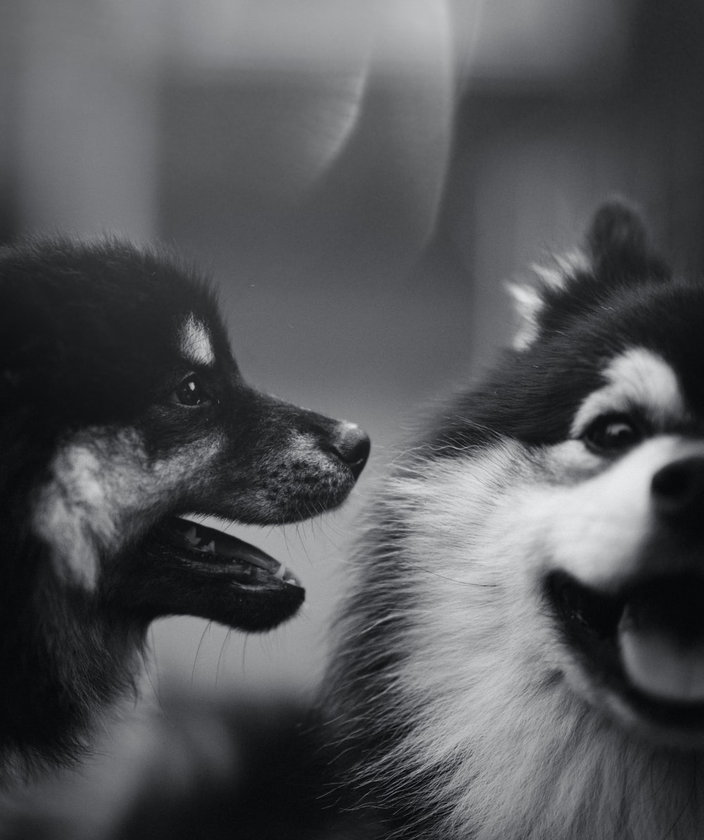 grayscale photography of two dogs