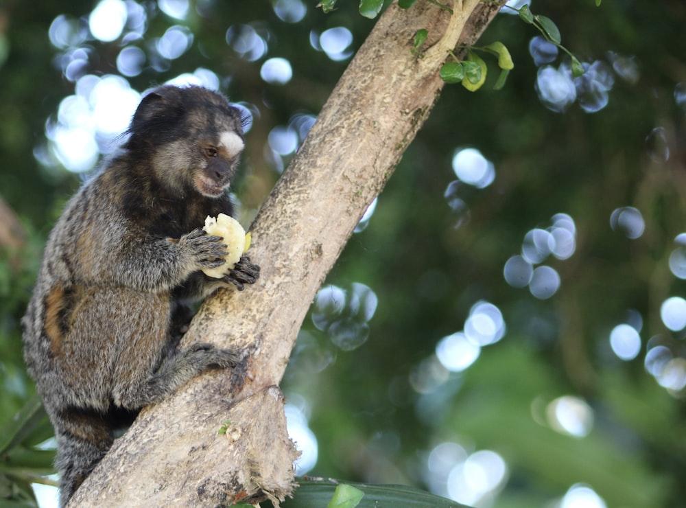 gray monkey climbing on tree holding food