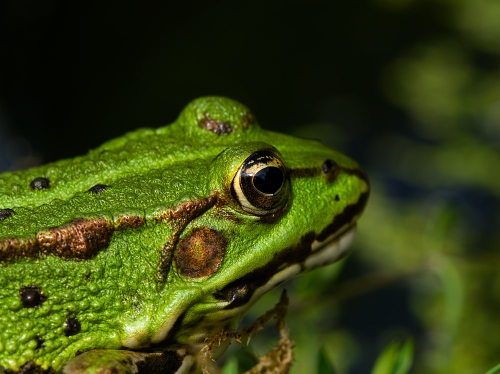 selective focus photo of green frog