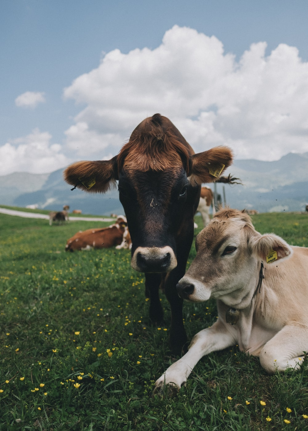 white and black cattle