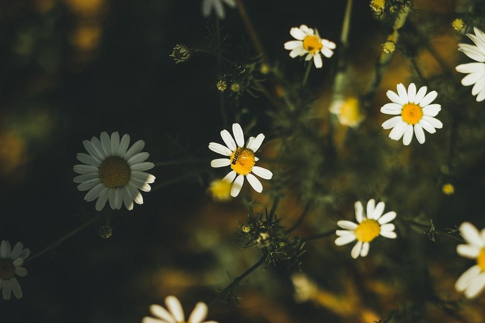 white daisy flower bloom during daytime