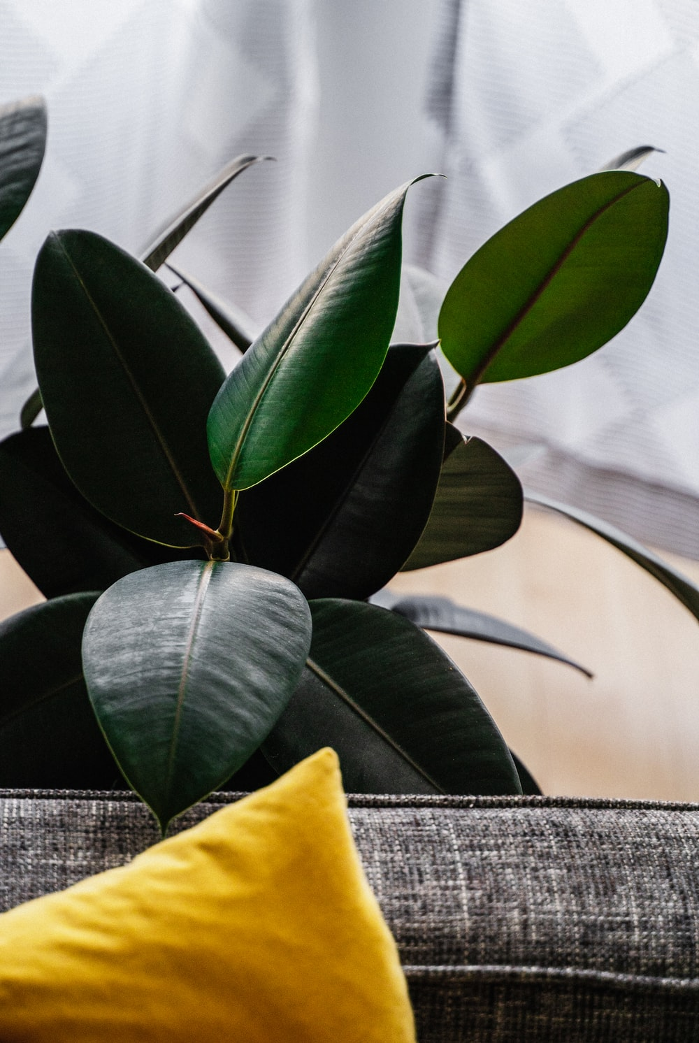 ovate rubber plant