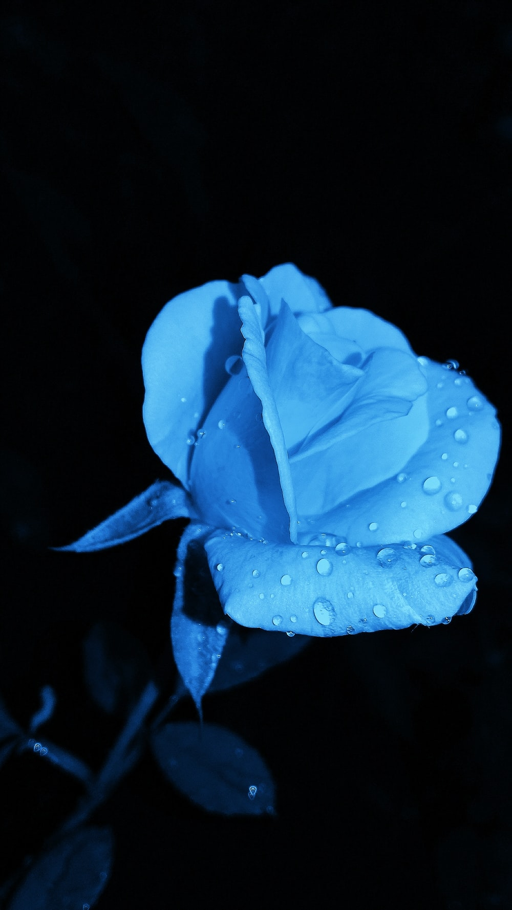 blue rose with water droplet