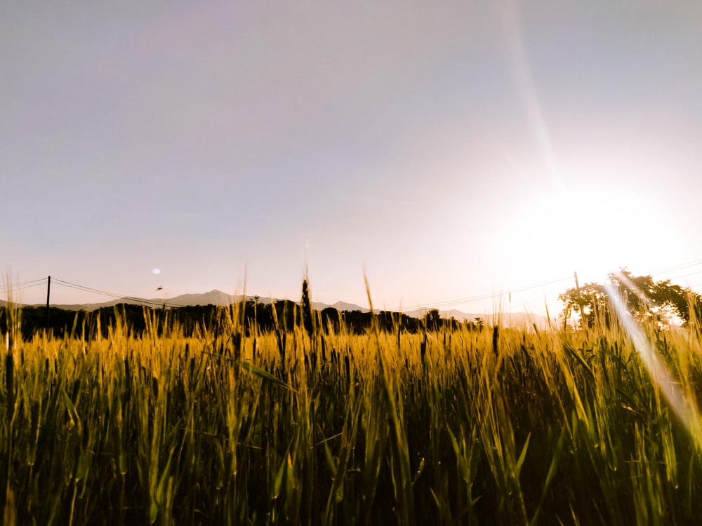 green rice field during golden hour