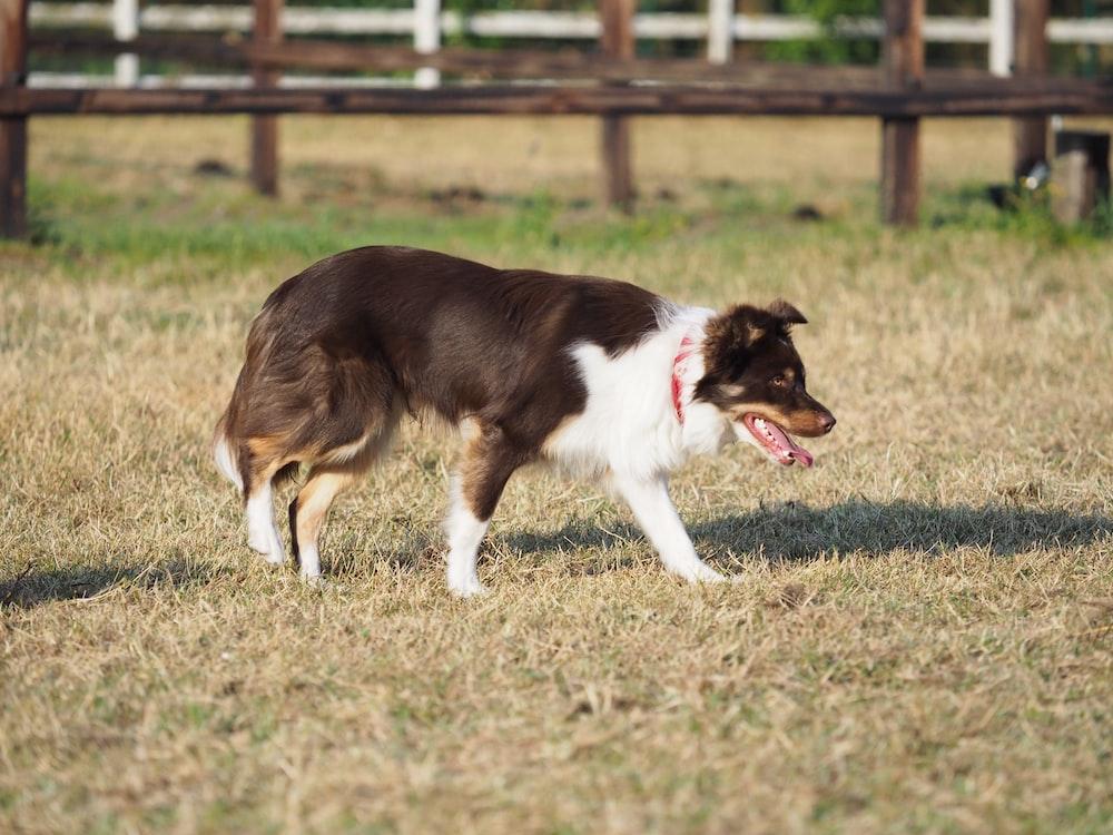 black and white Bernard Collie dog