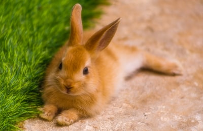 brown bunny near green grass during daytime rabbit zoom background