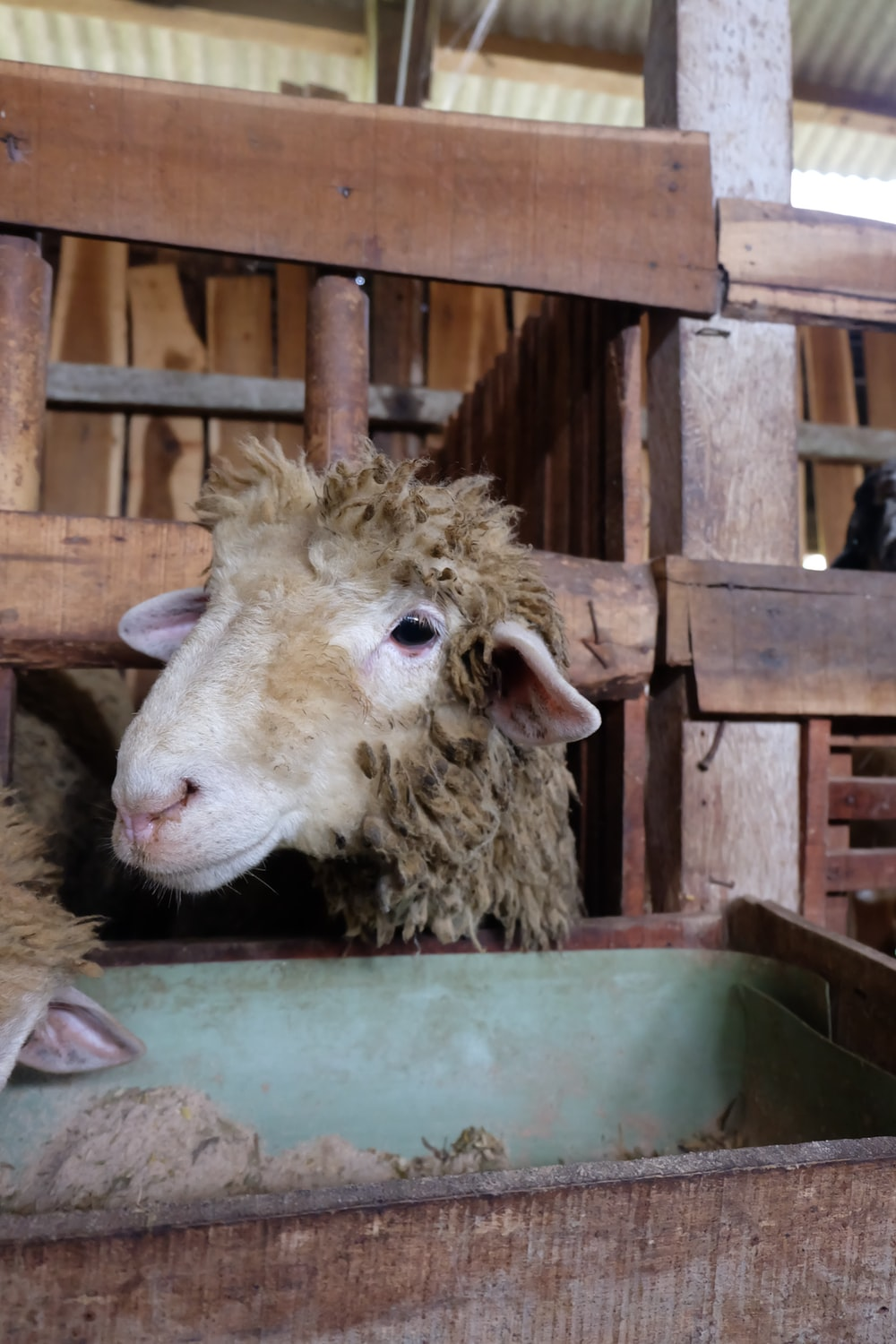 brown sheep in cage