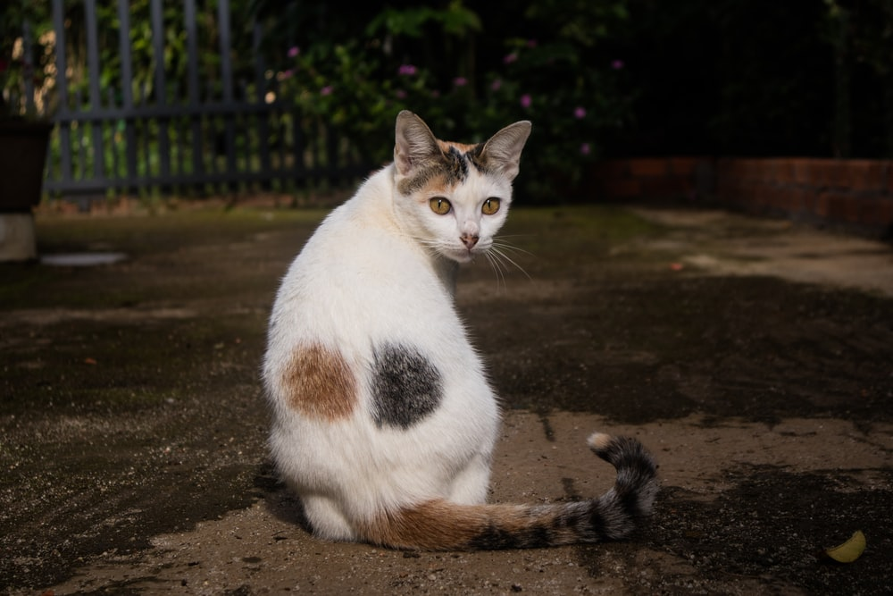 short-fur white and brown cat close-up photography