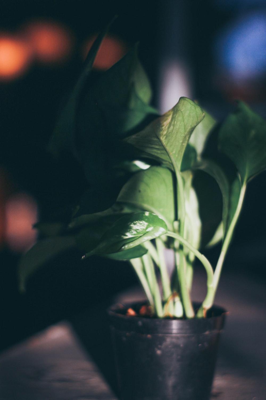 green leafed plant in black pot