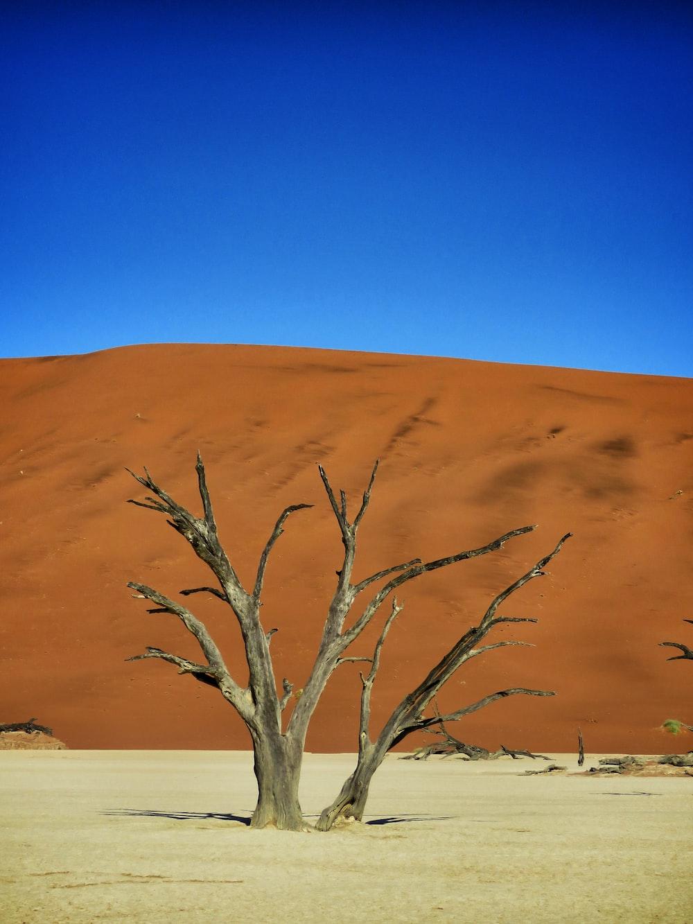 leafless trees at desert