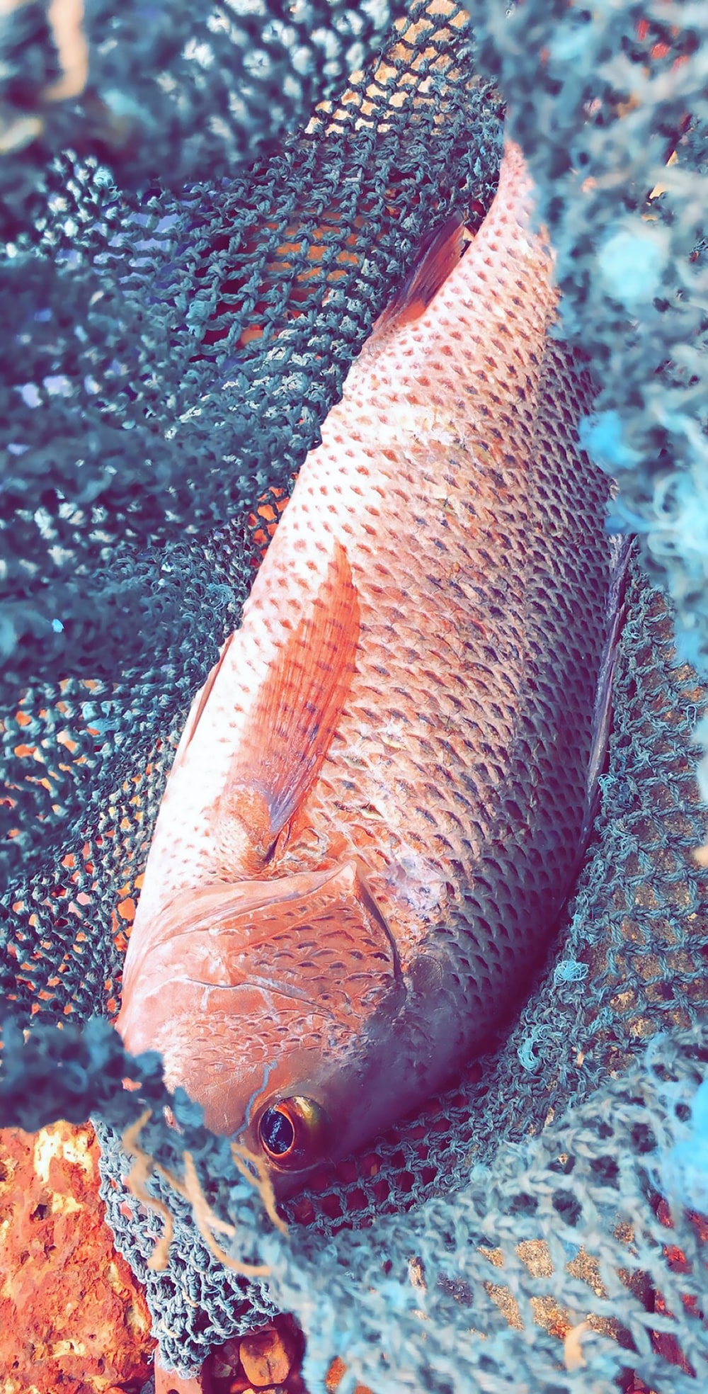 gray and red fish