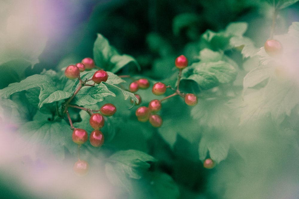 closeup photo of red berries