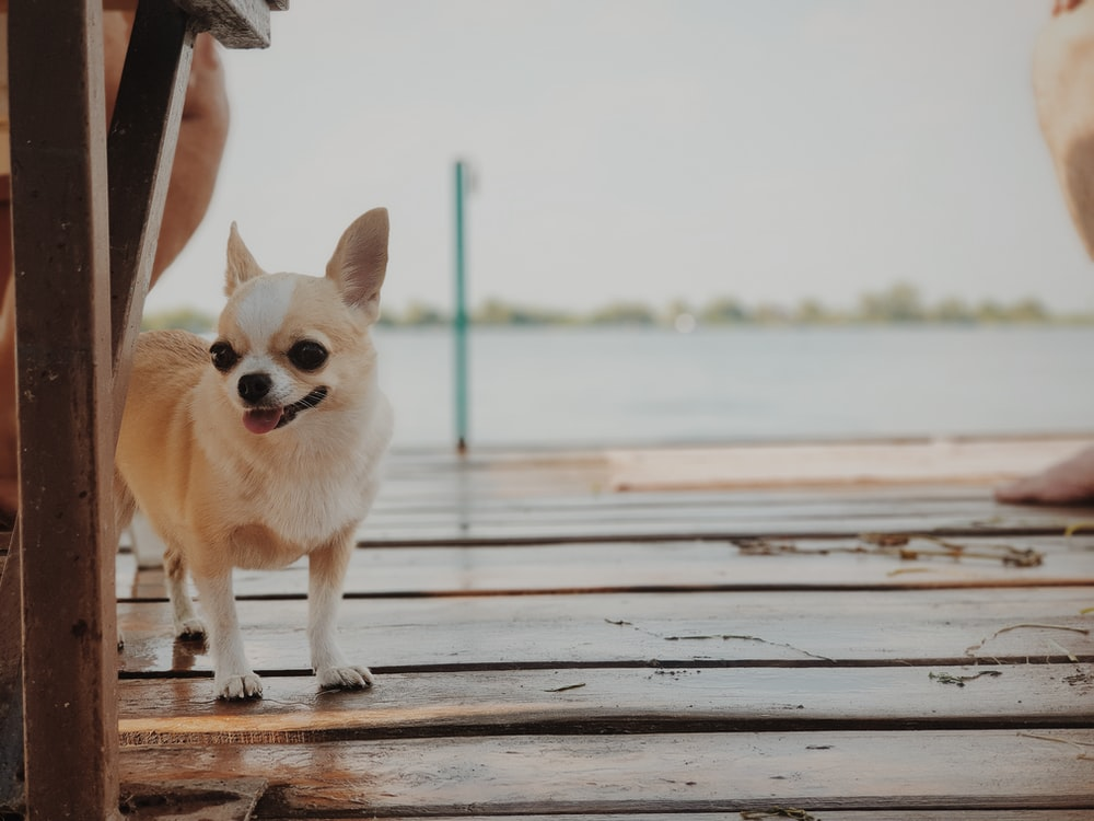 white Chihuahua near table