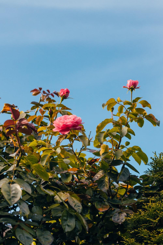 pink rose flowers in bloom