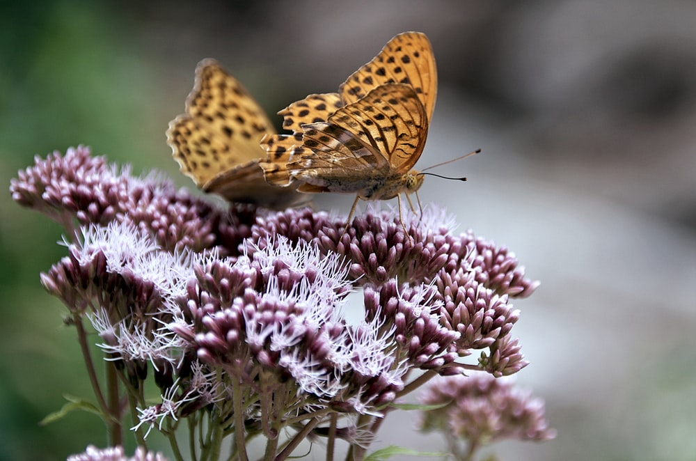 brown butterfly on pink flower