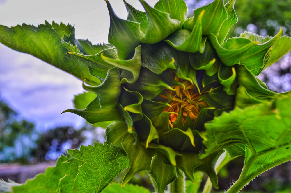 yellow and green sunflower