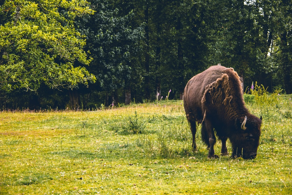 brown bison on green grass