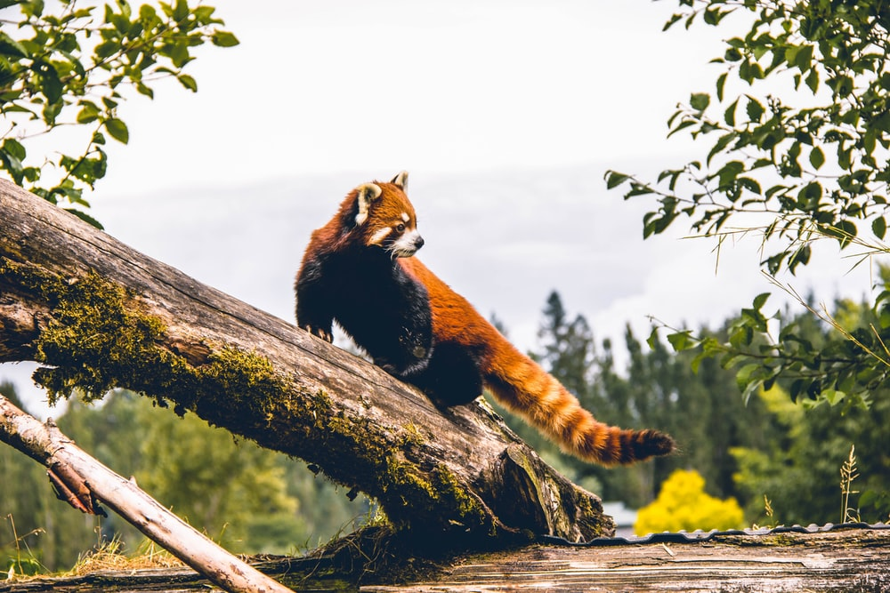 red panda on brown wood