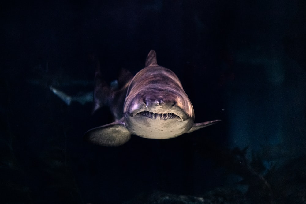 close-up of gray shark