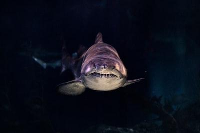 close-up of gray shark