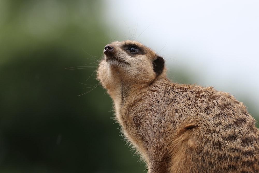 brown meerkat photo