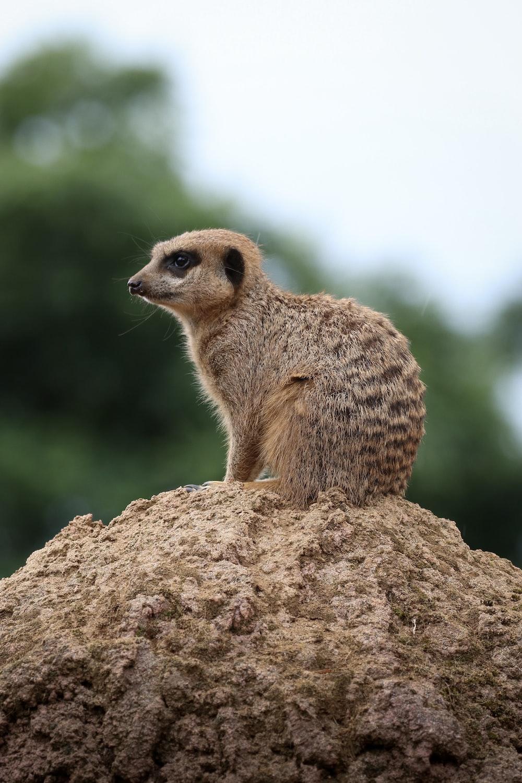 brown meerkat sitting on mount