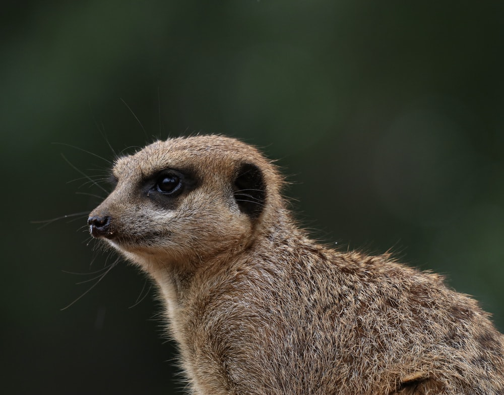 lemur close-up photography