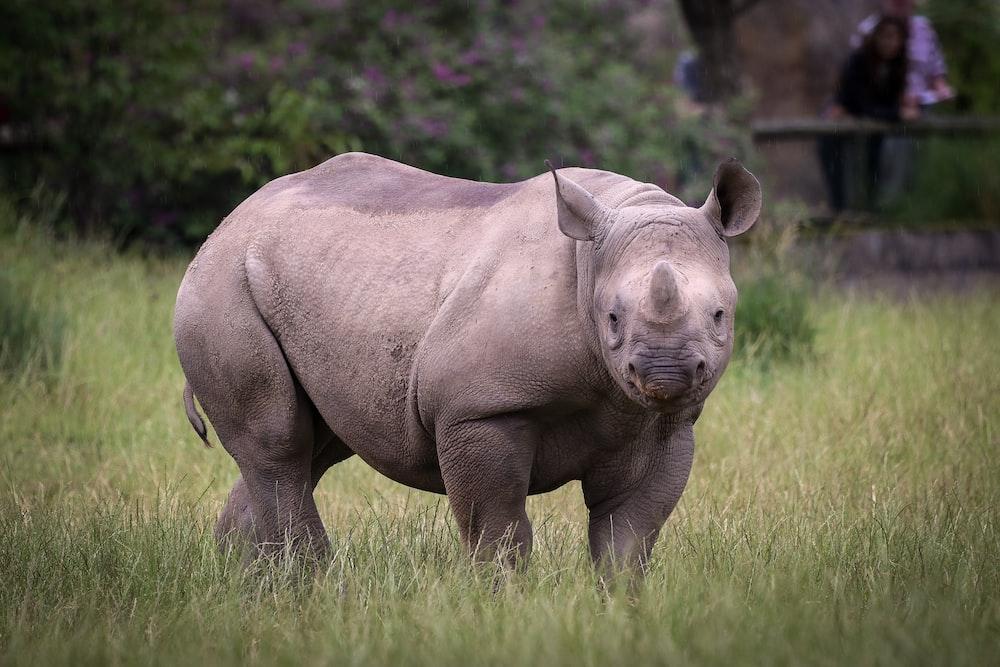 rhinoceros on green grass