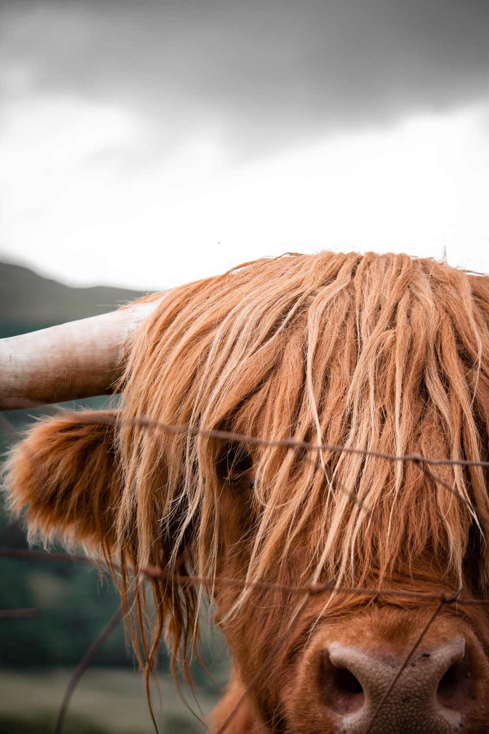 brown cow beside fence