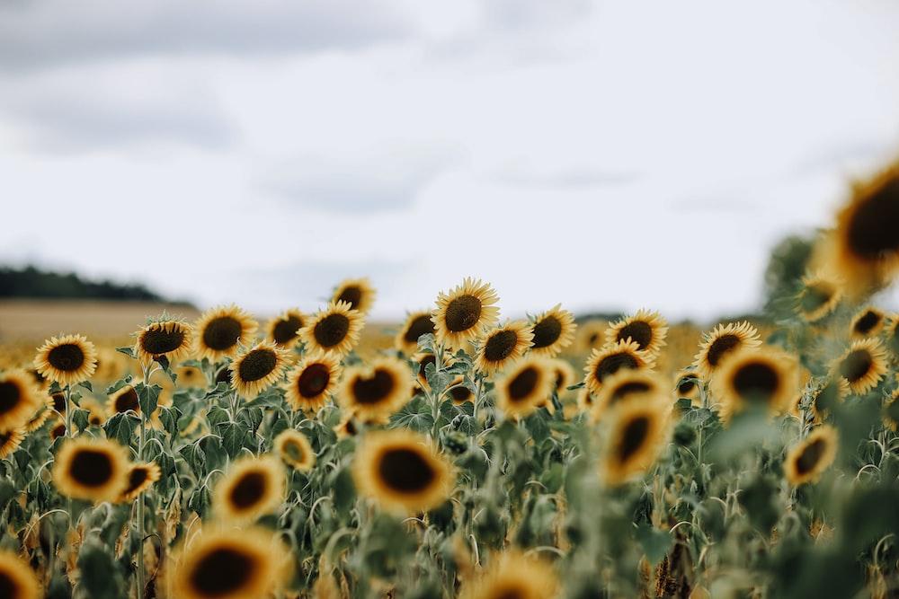 closeup photo of sunflowers