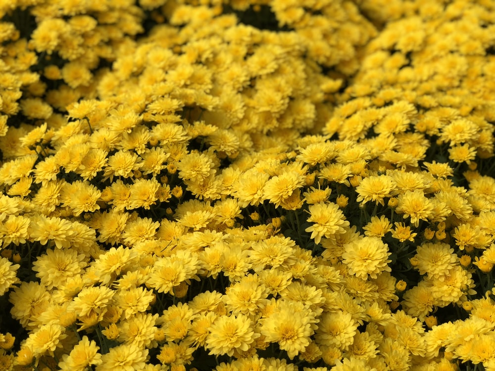 yellow flowers in bloom
